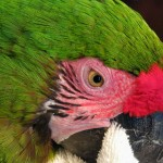 great green macaw , 8 Nice Great Green Macaw In Birds Category