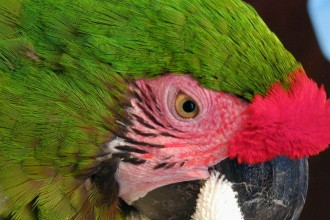 great green macaw in pisces