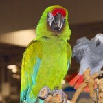 great green macaw facts , 8 Nice Great Green Macaw In Birds Category
