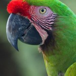 great green macaws , 8 Nice Great Green Macaw In Birds Category