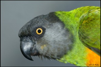 Green Parrot , 7 Wonderful Senegal Parrots In Birds Category