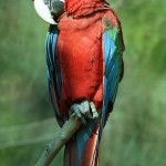 greenwing macaw , 9 Beautiful Green Wing Macaw In Birds Category