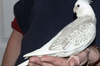 Grey Cockatiels , 8 Beautiful  Pied Cockatiel In Birds Category