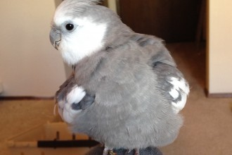 grey parrot in Genetics