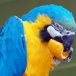 grey parrot , 7 Charming Blue Macaw Facts In Birds Category
