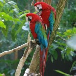 grey parrot , 8 Cool Green Wing Macaw In Birds Category