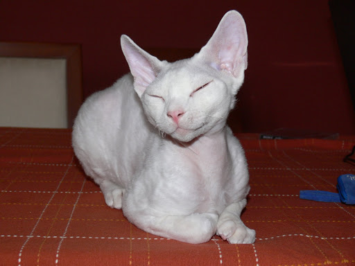 Cat , 7 Nice Pictures Of Hairless Cats : Hairless Cats