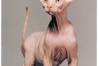 Hairless Cats , 6 Unique Hairless Cat Pictures In Cat Category