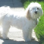 havanese , 6 Cute Havanese Dogs Pictures In Dog Category