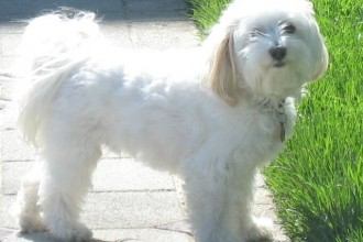havanese in Dog