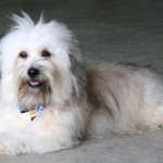 havanese dog , 6 Cute Havanese Dogs Pictures In Dog Category