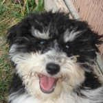 havanese dog photo , 6 Cute Havanese Dogs Pictures In Dog Category