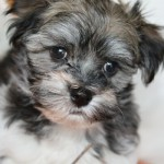 havanese dog , 7 Awesome Pictures Of Havanese Dogs In Dog Category