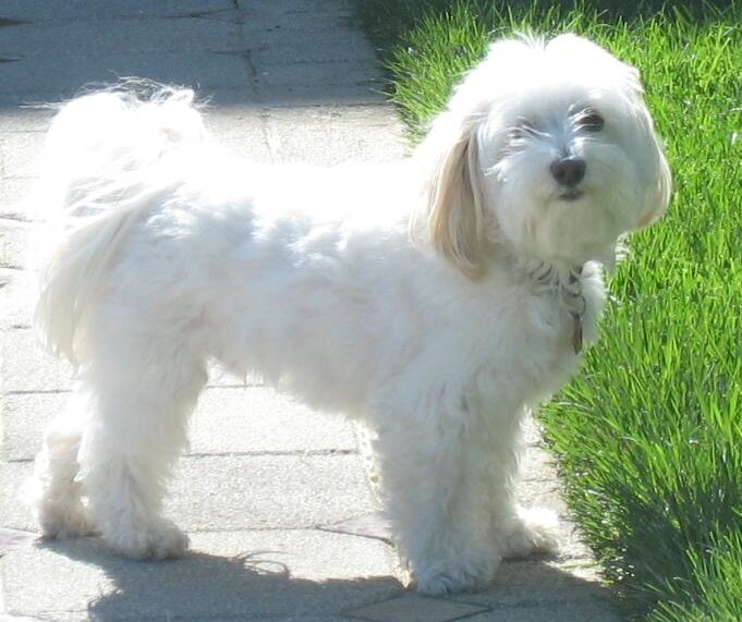 Dog , 6 Cute Havanese Dogs Pictures : Havanese