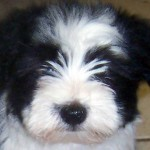 havanese , 7 Awesome Pictures Of Havanese Dogs In Dog Category