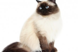 Himalayan Cat Breed , 7 Charming Himalayan Cat Pictures In Cat Category