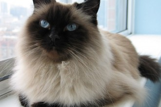 Himalayan Cat Image , 7 Charming Himalayan Cat Pictures In Cat Category