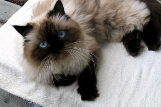 Himalayan Cat Images , 7 Charming Himalayan Cat Pictures In Cat Category
