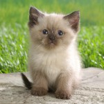 himalayan kitten , 7 Charming Himalayan Cat Pictures In Cat Category