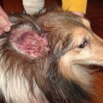 how to cure ear infection , 6 Superb Dog Ear Infection Picture In Dog Category