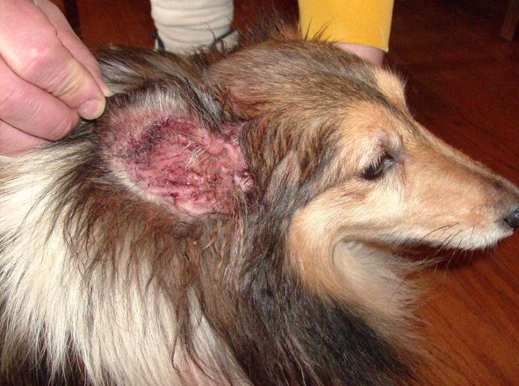 Home Cure Ear Infection Dog