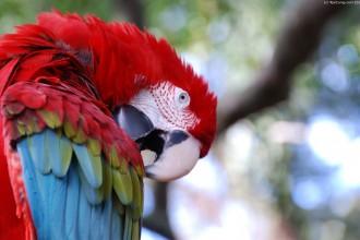 Hyacinth Macaw  , 7 Beautiful Green Winged Macaw In Birds Category