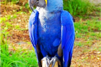 hyacinth macaw in Dog