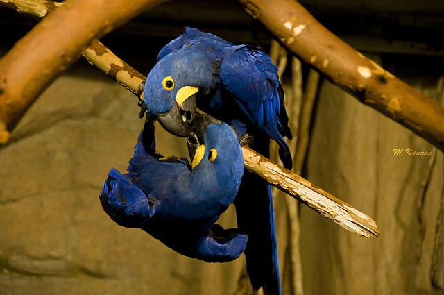 Birds , 7 Nice Parrot Cage Hyacinth Macaw : Hyacinth Macaw Cage