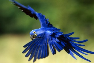 hyacinth macaw parrot facts in Butterfly
