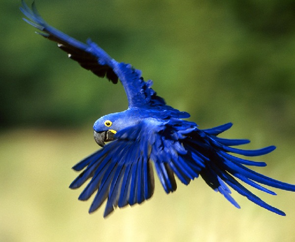 Birds , 8 Beautiful Macaw Facts : Hyacinth Macaw Parrot Facts
