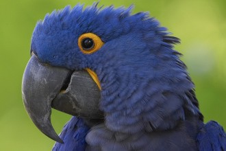 Hyacinth Macaw Parrot Facts , 8 Beautiful Macaw Facts In Birds Category
