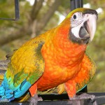 hybrid macaw , 8 Wonderful Types Of Macaws In Birds Category