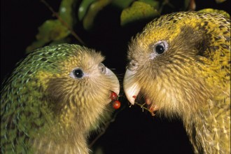 kakapo in Birds
