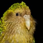 kakapo the owl , 8 Nice Kakapo Parrot In Birds Category