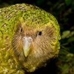 kakapo the owl parrot , 8 Nice Kakapo Parrot In Birds Category