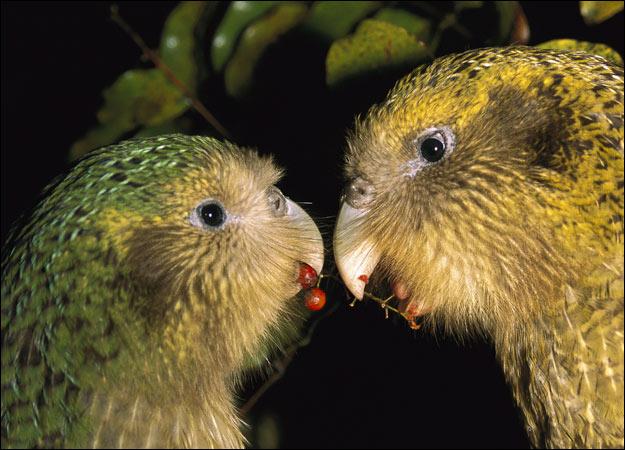 Birds , 8 Nice Kakapo Parrot : Kakapo