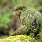 Kakapo , 8 Nice Kakapo Parrot In Birds Category