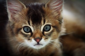 Kitten Breed , 8 Cute Cat Breeds Pictures In Cat Category