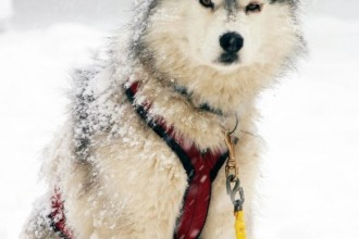 L Sled Dog , 7 Nice Pictures Of Sled Dogs In Dog Category