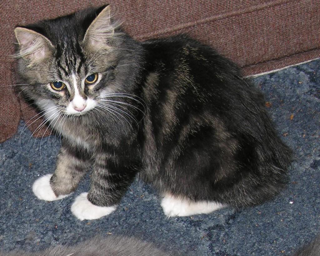 little manx cat