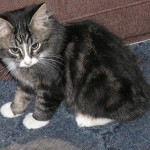 little manx cat , 8 Beautiful Pictures Of Manx Cats In Cat Category