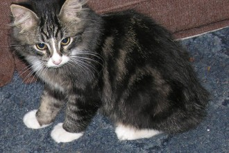 Cat , 8 Beautiful Pictures Of Manx Cats : little manx cat