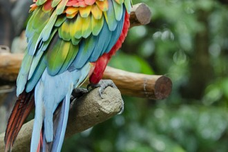 Lovebird Breeders , 7 Popular Scarlet Macaw In Birds Category