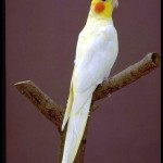 lutino , 7 Charming Cockatiel Names In Birds Category