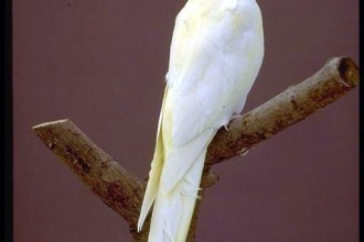 Birds , 7 Charming Cockatiel Names : lutino