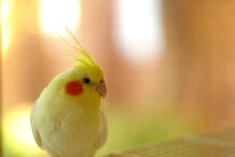 Lutino Bird , 7 Nice Lutino Cockatiel In Birds Category