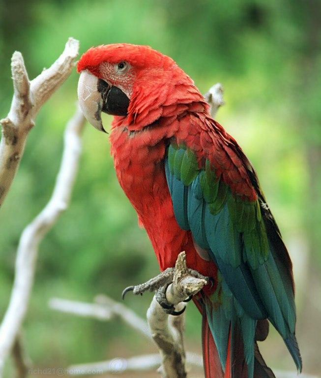 Birds , 7 Beautiful Green Winged Macaw : Macaw Bird