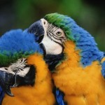 macaw bird , 7 Cool Macaw Facts For Kids In Birds Category