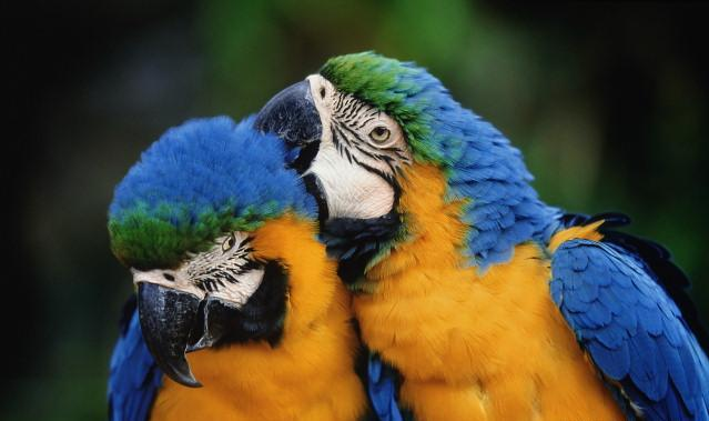 Birds , 7 Cool Macaw Facts For Kids : Macaw Bird