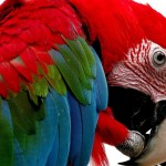 macaw bird , 7 Gorgeous Scarlet Macaws In Birds Category